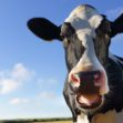 'Tinder for Cows' Is Now a Thing, and British Farmers Are Using it to Breed Cattle
